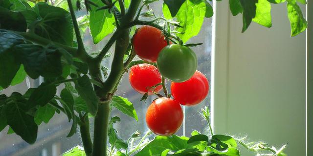 tomato ripening